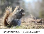 red squirrel sitting on the... | Shutterstock . vector #1081693394