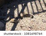suricate in zoo. suricate group.