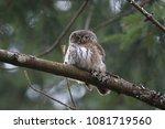 eurasian pygmy owl swabian jura ... | Shutterstock . vector #1081719560