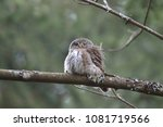 eurasian pygmy owl swabian jura ... | Shutterstock . vector #1081719566