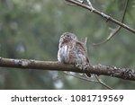 eurasian pygmy owl swabian jura ... | Shutterstock . vector #1081719569