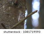 eurasian pygmy owl swabian jura ... | Shutterstock . vector #1081719593
