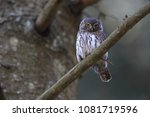 eurasian pygmy owl swabian jura ... | Shutterstock . vector #1081719596