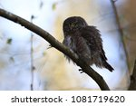 eurasian pygmy owl swabian jura ... | Shutterstock . vector #1081719620