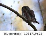 eurasian pygmy owl swabian jura ... | Shutterstock . vector #1081719623
