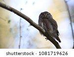 eurasian pygmy owl swabian jura ... | Shutterstock . vector #1081719626