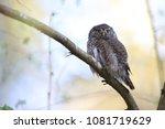 eurasian pygmy owl swabian jura ... | Shutterstock . vector #1081719629