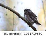 eurasian pygmy owl swabian jura ... | Shutterstock . vector #1081719650
