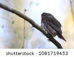 eurasian pygmy owl swabian jura ... | Shutterstock . vector #1081719653