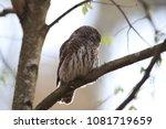 eurasian pygmy owl swabian jura ... | Shutterstock . vector #1081719659