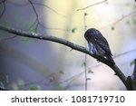 eurasian pygmy owl swabian jura ... | Shutterstock . vector #1081719710
