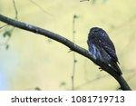 eurasian pygmy owl swabian jura ... | Shutterstock . vector #1081719713