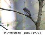 eurasian pygmy owl swabian jura ... | Shutterstock . vector #1081719716
