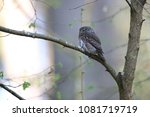 eurasian pygmy owl swabian jura ... | Shutterstock . vector #1081719719