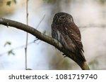 eurasian pygmy owl swabian jura ... | Shutterstock . vector #1081719740