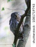 eurasian pygmy owl swabian jura ... | Shutterstock . vector #1081719743