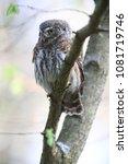 eurasian pygmy owl swabian jura ... | Shutterstock . vector #1081719746