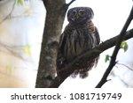 eurasian pygmy owl swabian jura ... | Shutterstock . vector #1081719749