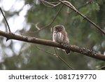 eurasian pygmy owl swabian jura ... | Shutterstock . vector #1081719770