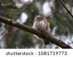 eurasian pygmy owl swabian jura ... | Shutterstock . vector #1081719773