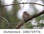 eurasian pygmy owl swabian jura ... | Shutterstock . vector #1081719776