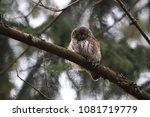 eurasian pygmy owl swabian jura ... | Shutterstock . vector #1081719779