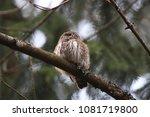 eurasian pygmy owl swabian jura ... | Shutterstock . vector #1081719800