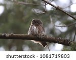 eurasian pygmy owl swabian jura ... | Shutterstock . vector #1081719803