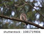 eurasian pygmy owl swabian jura ... | Shutterstock . vector #1081719806