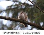 eurasian pygmy owl swabian jura ... | Shutterstock . vector #1081719809