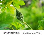 bitter gourd with leaves  ... | Shutterstock . vector #1081726748