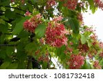 quisqualis indica l. chinese... | Shutterstock . vector #1081732418