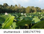 water lily plantation in the... | Shutterstock . vector #1081747793