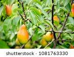 Healthy Organic Pears On Branc...