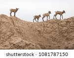 A Group Of Young Longhorn Sheep ...