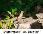 nightingale in city park | Shutterstock . vector #1081805984