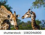 giraffe in kruger national park ...   Shutterstock . vector #1082046800