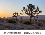 Joshua Trees  California  Usa