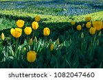 yellow tulips in the park ... | Shutterstock . vector #1082047460