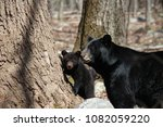 Mother Black Bear Looking Afte...