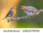 mother robin bird  erithacus...   Shutterstock . vector #1082070950