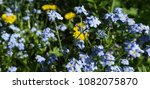 flowers of forget me nots and... | Shutterstock . vector #1082075870