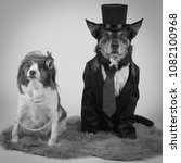 Small photo of cattle dog and little cager dog vintage photo dressed up as married couple