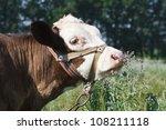 Calf sniffs flowers mint
