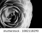 buf of the ranunculus in black... | Shutterstock . vector #1082118290