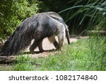 anteater looking for food | Shutterstock . vector #1082174840