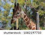 giraffe at the zoo | Shutterstock . vector #1082197733