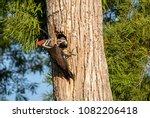 adult pileated woodpecker bird... | Shutterstock . vector #1082206418