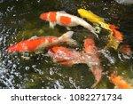 beautiful  koi  fish  swimming. | Shutterstock . vector #1082271734