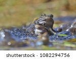 European Common Brown Frog ...